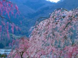 08月岡公園桜s★DSC00671.jpg
