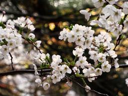 38中庭桜s★DSC00320.jpg
