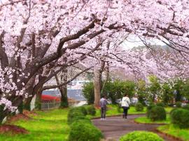13月岡公園桜s★DSC00603.jpg