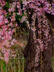 15月岡公園桜s★DSC00663.jpg