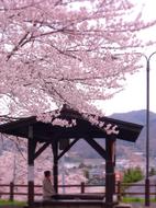 18月岡公園桜足湯s★DSC00694.jpg