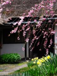 64武家屋敷の桜s★DSC00446.jpg