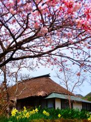66武家屋敷の桜s★DSC00476.jpg
